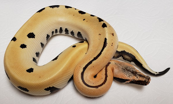 007  GOLDEN EYE MATRIX M BLOOD PYTHON 08272019.jpg