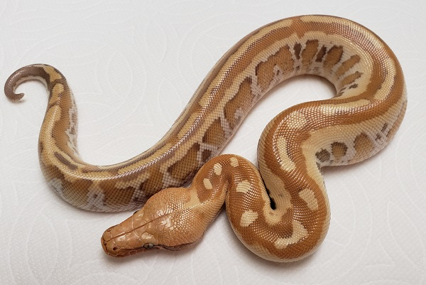 VPI Red Albino Matrix F 1 Blood Python Python brongersmai
