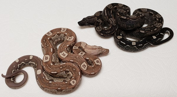 AZTEC IMG T+ AND AZTEC IMG BOA CONSTRICTOR