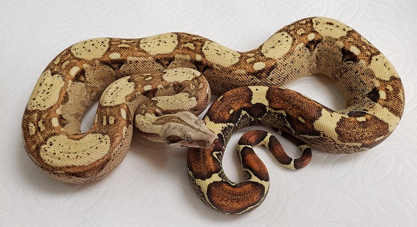 PP WP T F BOA CONSTRICTOR