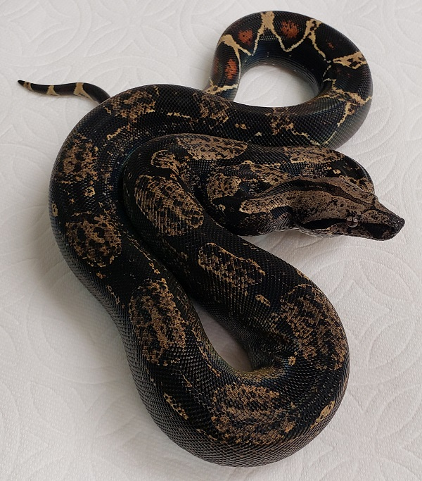 IMG H T 100 F BOA CONSTRICTOR