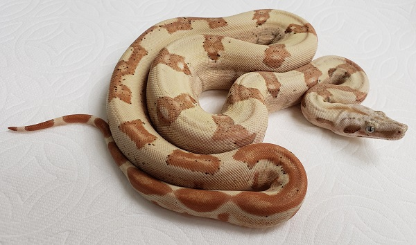 SUNGLOW T P H T 66 M BOA CONSTRICTOR