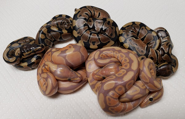 BANANA DOUBLE HET BLACK AXANTHIC AND CLOWN AND  DOUBLE HET BLACK AXANTHIC AND CLOWN PYTHON REGIUS