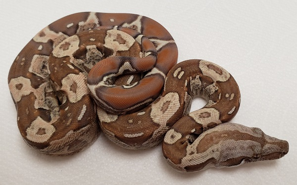 IMG T M BOA CONSTRICTOR