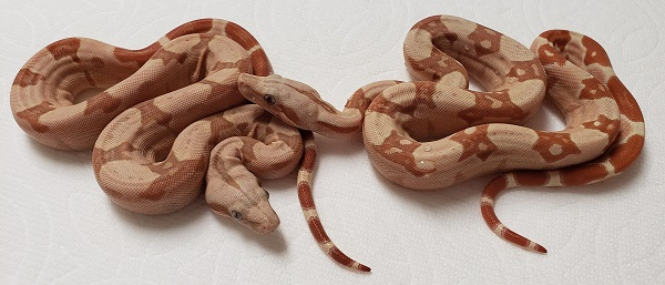 SUNGLOW T 66 POSS HET ANERY 1.0 AND 0.1 BOA CONSTRICTOR