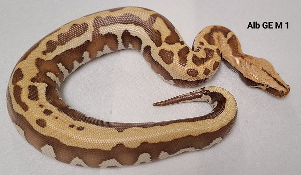 GOLDEN EYE RED ALBINO T+ 1.0 M 1 Python brongersmai 2020