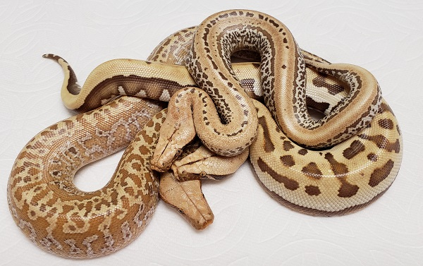 ALBINO BATIK ALBINO GOLDEN EYE ALBINO PIXEL BLOOD PYTHONS 08272019.jpg
