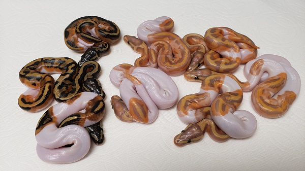PIED FEMALES AND BANANA PIED MALES FROM SILVER BANANA PIED MALE PYTHON REGIUS