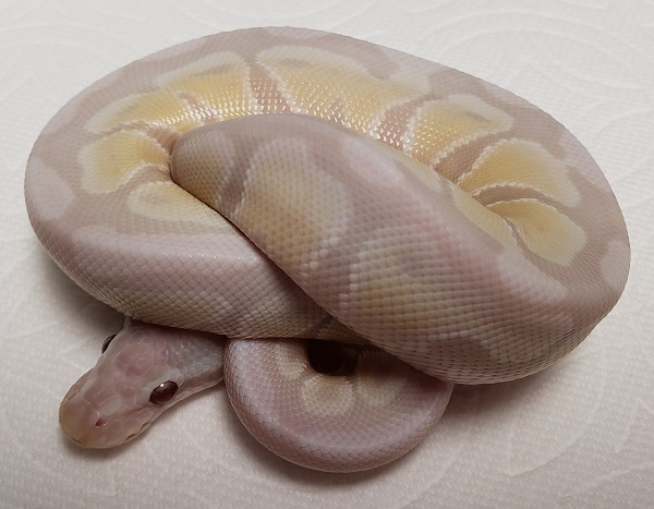 Ball Pythons Inventory | Vida Preciosa International, Inc