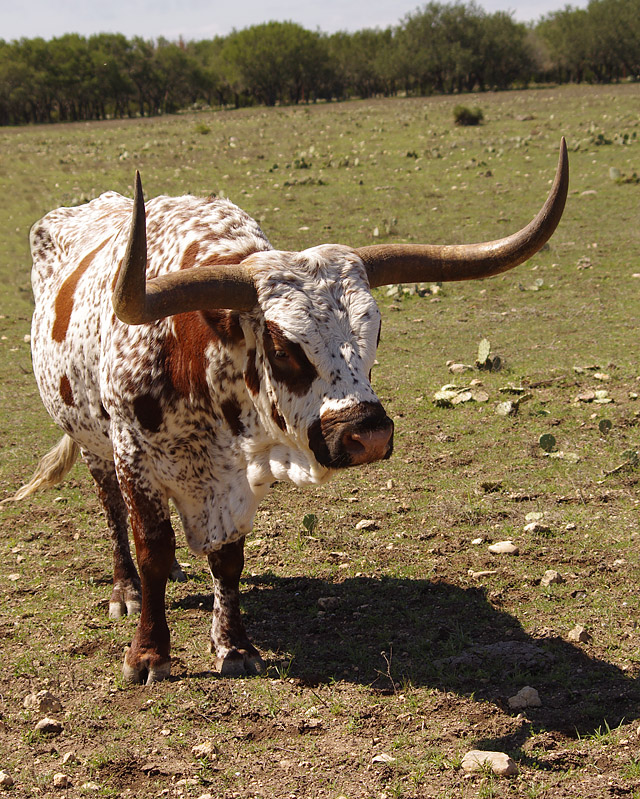 LonghornBull_EdwardsCo_100712_84o.jpg