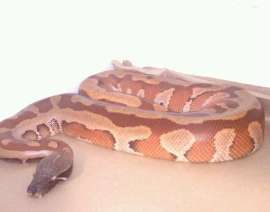 VPI NEW DOMINANT ADULT MALE, DAD OF 2011 BABIES.
