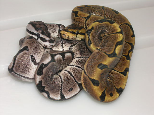 Axanthic / Woma-morph and Woma-morph
