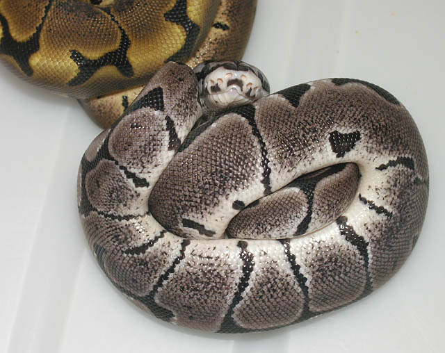 Axanthic / Woma-morph