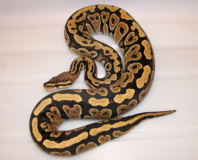 NEW MORPH VPI BALL PYTHON IT IS A DOMINANT, WE NEED A NAME...