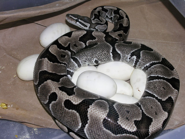 VPI axanthic on eggs: VPI axanthic x sugar ball clutch 040208