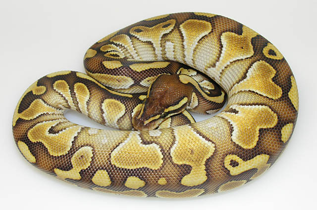 Lesser Ball Python: I love the Lessers. They are a really beautiful animal-