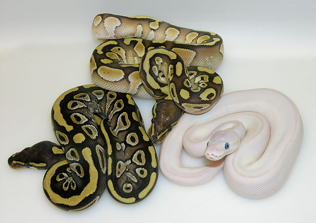Group shot: Lesser with Mojave and a Blue eyed Lesser Mojave leucistic