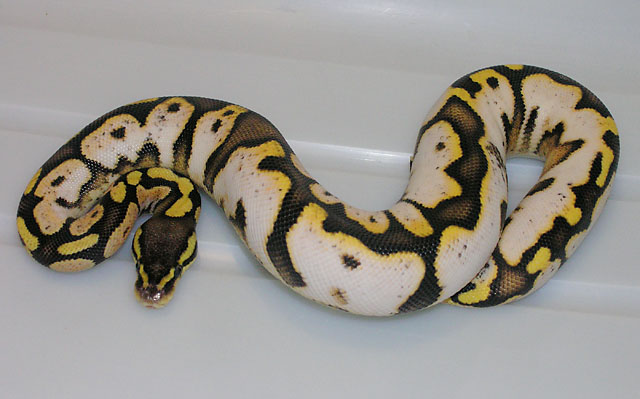 Pastel  Sugar Ball Python Female