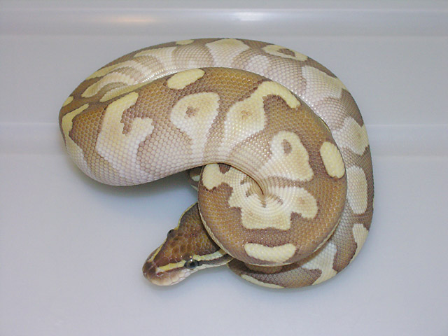 Platinum Ball Python Male