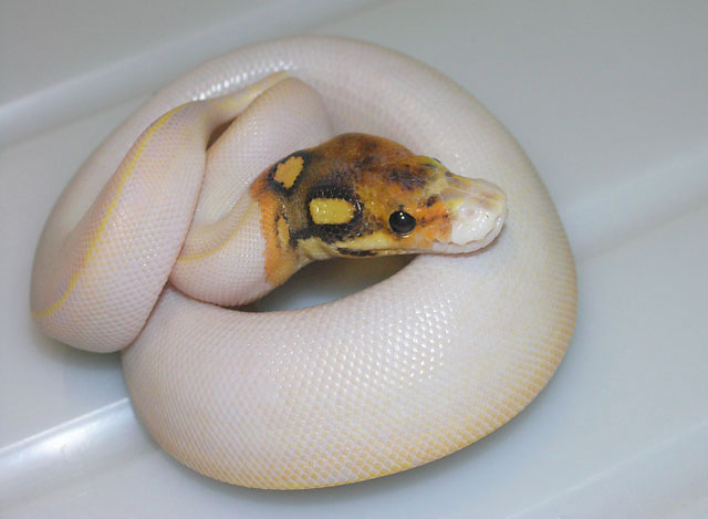 Ivory Fire?? Ball Python Male