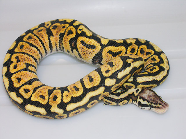 Pastel Spot-nose Ball Python Male