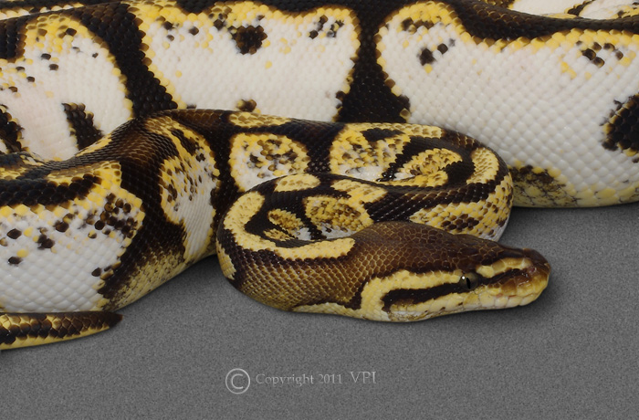 VPI PASTEL SUGAR FEMALE 2009
