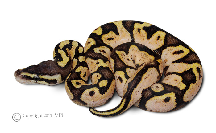 VPI PASTEL SUGAR FEMALE 2011
