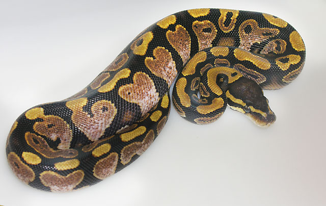 Sugar Ball Python with Heart design!