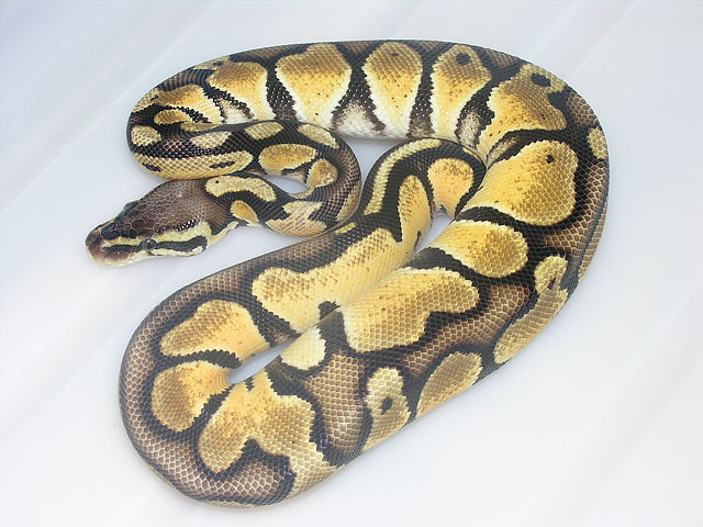 Citrus Pastel from 2007: Here is an updated photo, nice light areas all over this snake!