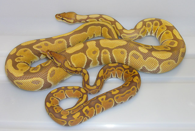 Ultramel Ball Pythons: Year old female and 3 month old male