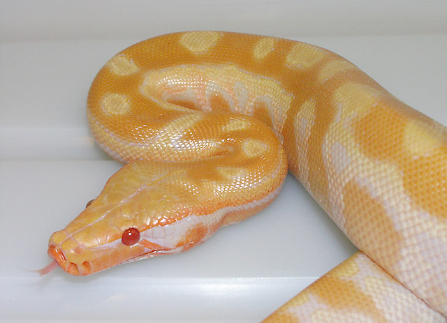 NEW DOMINANT VPI EYE COLOR MUTATION IN RED TNEG RED BLOOD PYTHON NOVEMBER 15, 2010