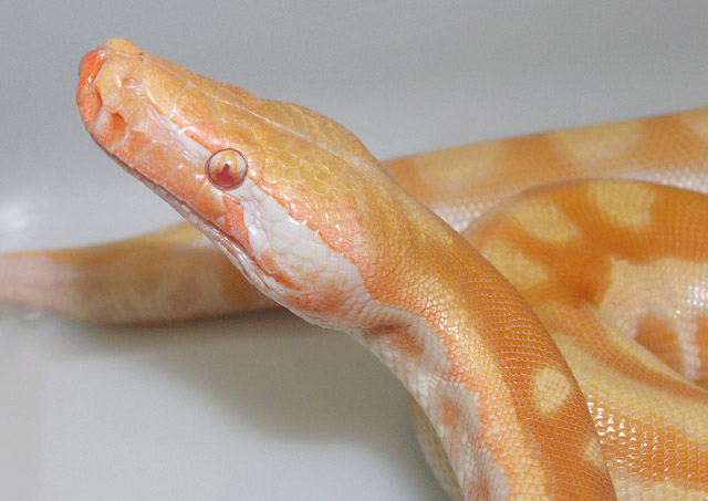VPI RED TNEG ALBINO BLOOD PYTHON BEFORE COLOR CHANGE NOVEMBER 15,2010