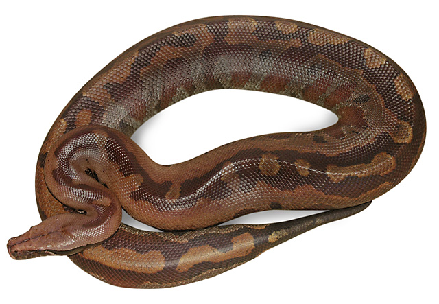 "VPI ""MARRON TYPE?"" MOM RED BLOOD PYTHON"