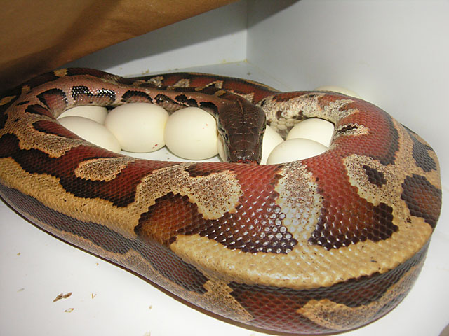 Red Blood Python on eggs 04/04/09