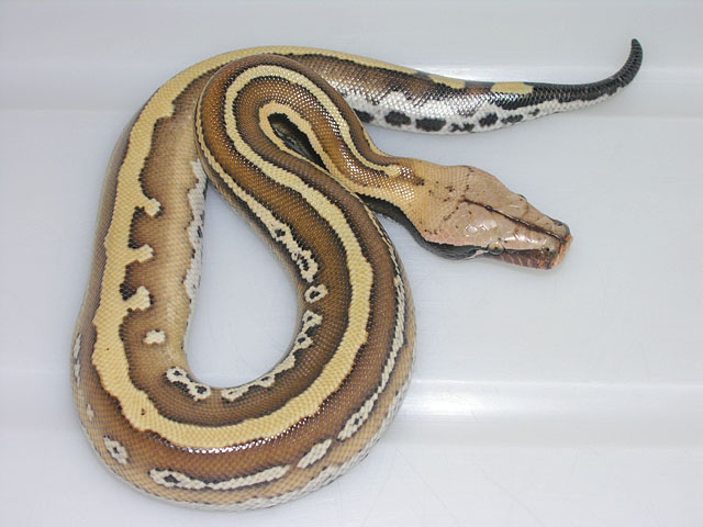striped red blood python PE line 0608