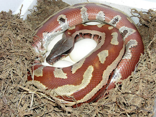 Female stripe Red Blood Python 100% het red albino and 100% het hypo on eggs 060108