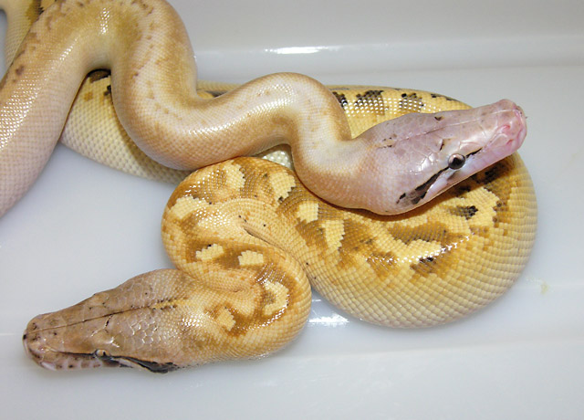 REDUCED PATTERN AND NORMAL PATTERN IVORY RED BLOOD PYTHON CLOSE-UP 2010