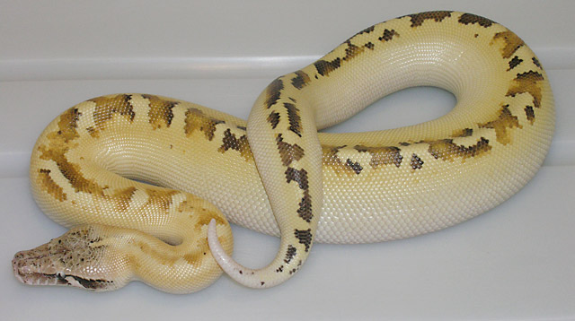 IVORY RED BLOOD PYTHON FEMALE