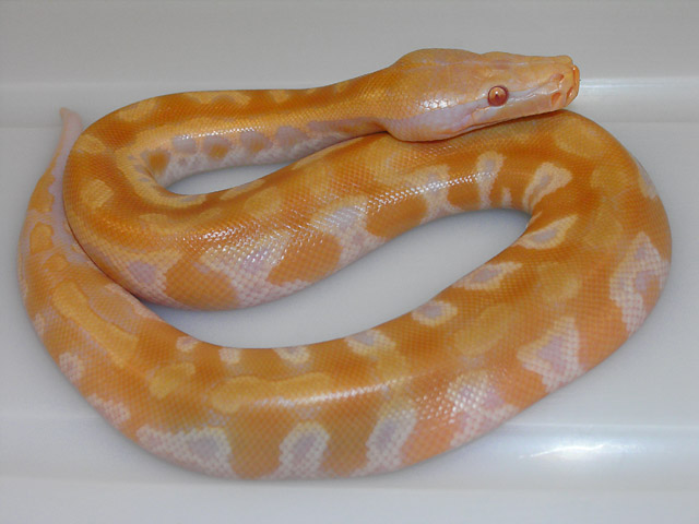 "T NEG ALBINO ""LAVENDER"" ORANGE/YELLOW HATCHED 06/28/10"