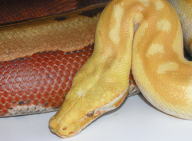 Lavender Albino Red Blood Python male with Normal Striped Red Blood Python female