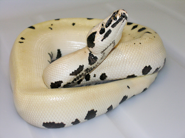"MALE ""MAGPIE"" SUPER OF THE ""GOLDEN EYE"" BLOOD PYTHON"