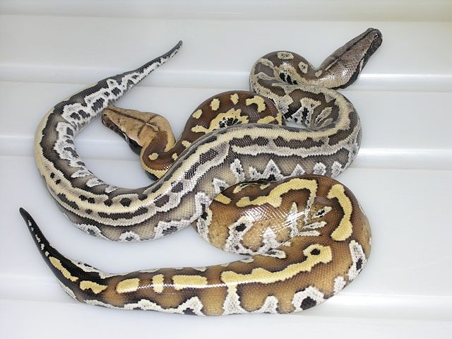 Normal Red Blood and VPI Black Smoke Red Blood Python