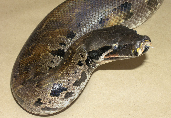 Close-up of new dominant morph, the VPI Black Smoke Blood