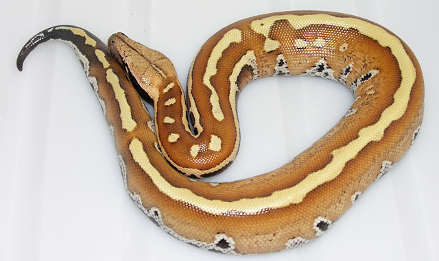 VPI stripeline red blood python baby 061008