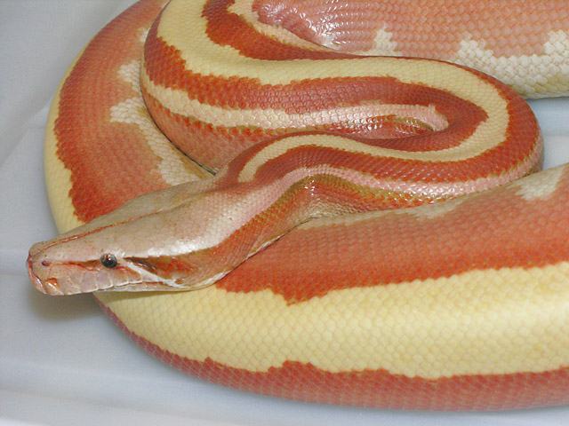 FEMALE VPI SUNGLOW STRIPELINE RED BLOOD PYTHON PYTHON BRONGERSMAI