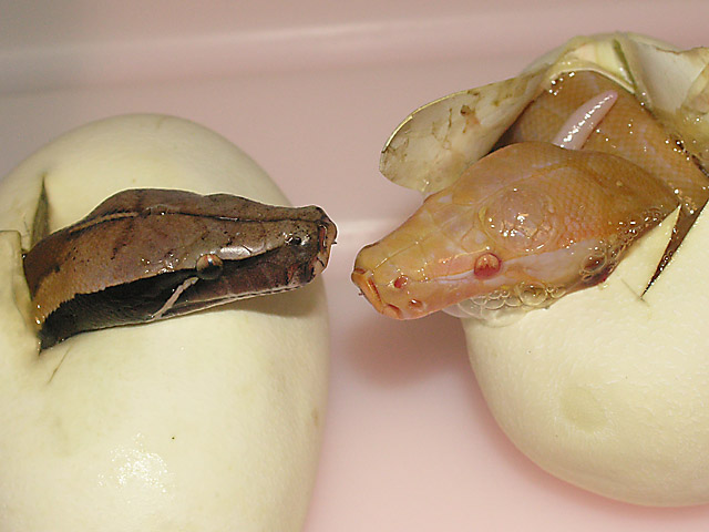 t neg albino hatching 06/08/09 with 66% het t- sibling