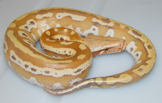 "VPI ""YELLOW"" RED ALBINO BLOOD PYTHON BABY 2011"