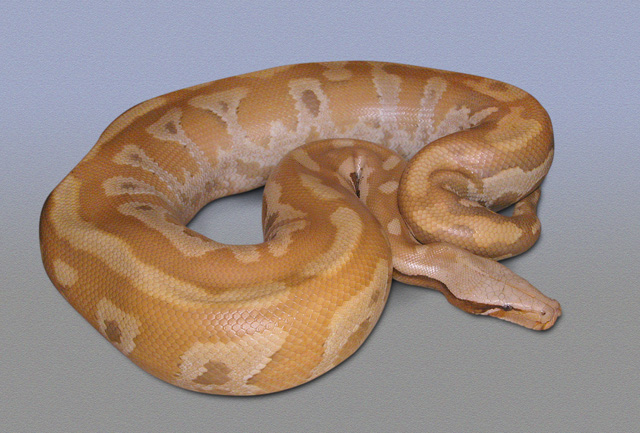 OVULATION 03/27/11 YELLOW RED ALBINO PYTHON BRONGERSMAI