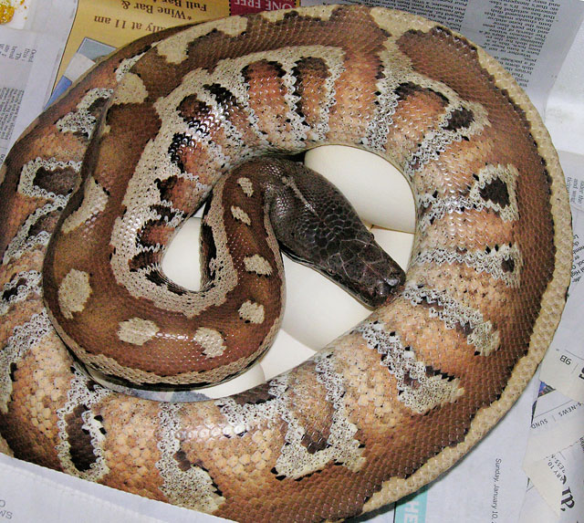 Matrix 100% het Red Albino Red Blood Python on eggs 05/01/10