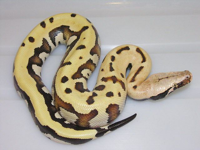 VPI GOLDEN EYE 66% HET ALBINO MALE